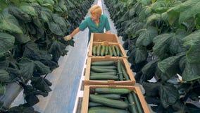 Lavoratore femminile del warmhouse che tira un carrello e che raccoglie i cetrioli Coltivazione organica di naturale e degli orta stock footage