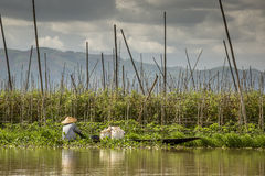 Lavoratore nelle piante di galleggiamento di pomodori nel Myanmar Immagini Stock