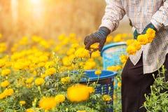 Lavoratore o giardiniere tailandese che tiene il fiore del tagete nel campo al nort Fotografie Stock