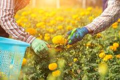 Lavoratore o giardiniere tailandese che tiene il fiore del tagete nel campo al nort Immagine Stock