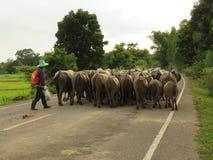 Lavoratori, agricoltori/allevamento del bestiame /Buffalo/Khon Kaen Tailandia Fotografia Stock Libera da Diritti