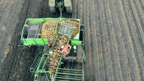 Lavoratori che ordinano patata su un trasportatore Il raccolto, coltivante, concetto di agricoltura archivi video