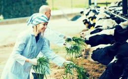 Lavoratori che prendono cura delle mucche Fotografia Stock