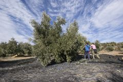 Lavoratori che raccolgono le olive nella provincia di Jaén, Spagna Immagine Stock