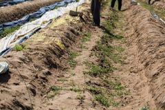 Lavoratori dell'asparago, lavoratori stagionali nel campo Fotografie Stock