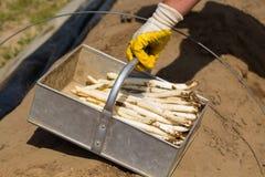 Lavoratori dell'asparago, lavoratori stagionali nel campo Immagine Stock