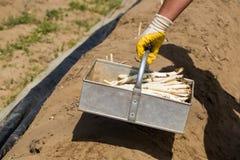 Lavoratori dell'asparago, lavoratori stagionali nel campo Fotografia Stock Libera da Diritti