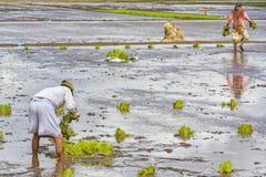 Lavoratori dell'azienda agricola che piantano riso Fotografia Stock
