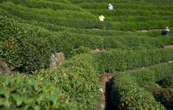 Lavoratori della piantagione di tè Immagini Stock Libere da Diritti