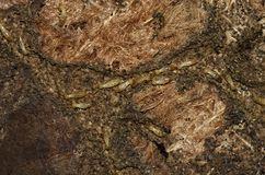 Lavoratori della termite che scavano una galleria su un vecchio tappeto Fotografia Stock Libera da Diritti