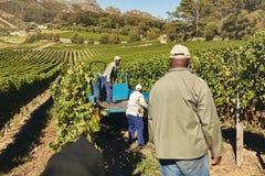 Lavoratori della vigna che trasportano l'uva alla cantina Fotografia Stock