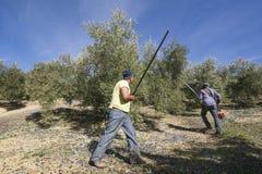 Lavoratori durante il raccolto verde oliva nella provincia di Jaén, Spagna immagine stock