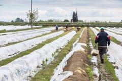 lavoratori nell'azienda agricola durante la raccolta dell'asparago bianco Immagini Stock Libere da Diritti