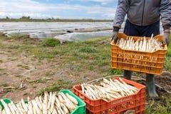 lavoratori nell'azienda agricola durante la raccolta dell'asparago bianco Immagine Stock Libera da Diritti