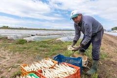 lavoratori nell'azienda agricola durante la raccolta dell'asparago bianco Fotografia Stock
