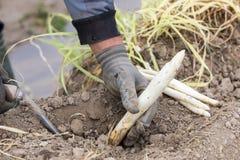 lavoratori nell'azienda agricola durante la raccolta dell'asparago bianco Immagine Stock