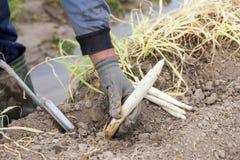 lavoratori nell'azienda agricola durante la raccolta dell'asparago bianco Immagini Stock