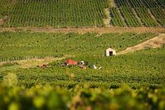 Lavoratori in vigne di Beaujolais durante il raccolto Immagine Stock Libera da Diritti