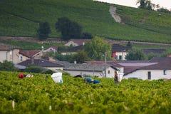 Lavoratori in vigne di Beaujolais durante il raccolto Fotografia Stock