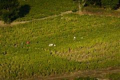 Lavoratori in vigne di Beaujolais durante il raccolto Fotografie Stock Libere da Diritti