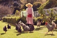 Lavoratrice agricola senior con i polli sulla sua azienda agricola urbana Fotografia Stock Libera da Diritti
