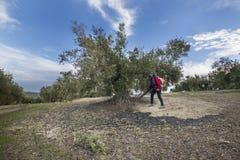 Lavoratrice durante il raccolto verde oliva, Jaén, Spagna Immagine Stock
