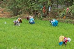 Lavoratrici in una risaia del Tamil Nadu Fotografie Stock Libere da Diritti
