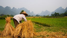 Lavoro 3 del giacimento del riso immagini stock