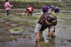Lavoro agricolo, piantina asiatica del riso delle donne che trapianta nel ru Immagini Stock Libere da Diritti
