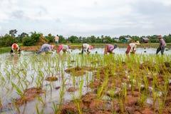 Lavoro cambogiano degli agricoltori del riso nei campi Immagini Stock Libere da Diritti