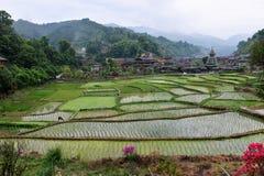 Lavoro cinese del lavoratore dell'agricoltore nel giacimento del riso terrazzi e semi del riso della pianta Fotografie Stock
