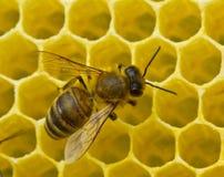 Lavoro completo dell'ape sul creare i favi Immagini Stock Libere da Diritti