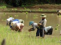 Lavoro degli agricoltori al giacimento del riso Immagine Stock