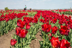 Lavoro degli agricoltori sul campo del tulipano Immagine Stock Libera da Diritti