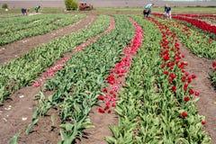 Lavoro degli agricoltori sul campo del tulipano Fotografia Stock Libera da Diritti