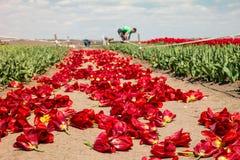Lavoro degli agricoltori sul campo del tulipano Fotografia Stock