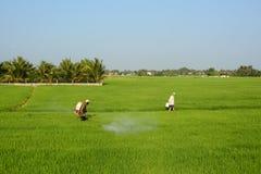 Lavoro degli agricoltori sul giacimento del riso Immagini Stock