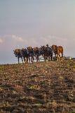 Lavoro del campo con i grandi cavalli Fotografie Stock Libere da Diritti