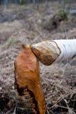 Lavoro del castoro Fotografie Stock Libere da Diritti