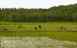 Lavoro del giacimento del riso Immagini Stock