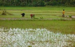 Lavoro del giacimento del riso Fotografia Stock