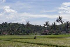 Lavoro dell'agricoltore al giacimento del riso con il backgrpund dei cocchi Immagini Stock