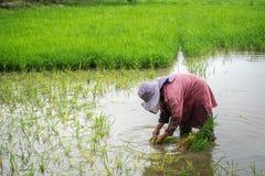 Lavoro dell'agricoltore del riso duro Immagini Stock Libere da Diritti