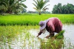 Lavoro dell'agricoltore del riso duro Immagini Stock