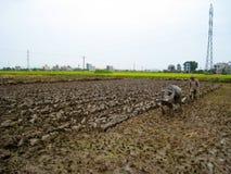 Lavoro dell'agricoltore del Vietnam in un campo con il bufalo d'acqua Immagini Stock