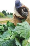 Lavoro dell'agricoltore nel campo del cavolo Immagine Stock