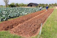 Lavoro dell'agricoltore nel cavolo del campo. Immagine Stock