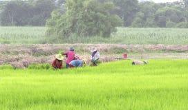 Lavoro dell'agricoltore sul giacimento del riso con il cielo piacevole Fotografia Stock