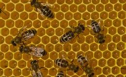 Lavoro delle api dentro l'alveare Convertono il nettare in miele fotografia stock libera da diritti