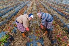 Lavoro di donne agricoltori nei giacimenti della fragola Fotografia Stock Libera da Diritti